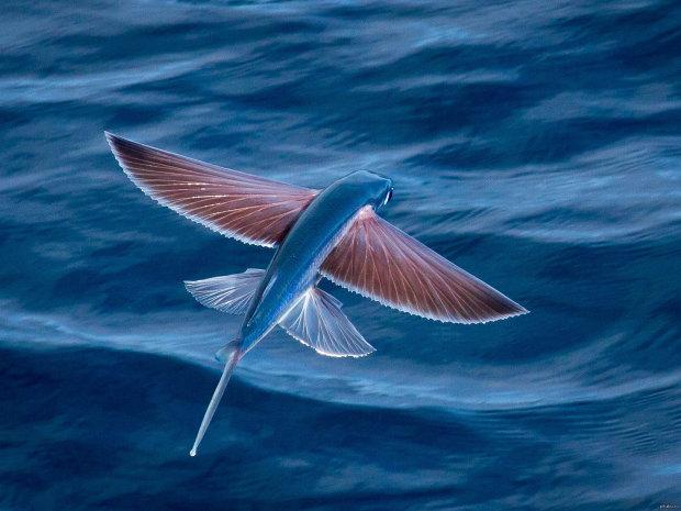 Захватывающий эффект Slow Mo: блогеры сняли прыжки летучих рыб в замедленной съемке