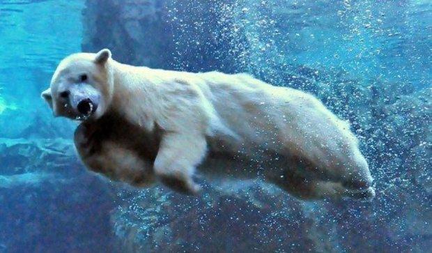 Белые медведи ныряют под воду из-за потепления