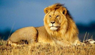 Чоловік стрибнув у клітку з левами, щоб потиснути їм лапи