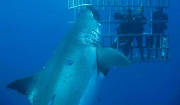 У Мексиці живе найбільша акула на Землі (відео)