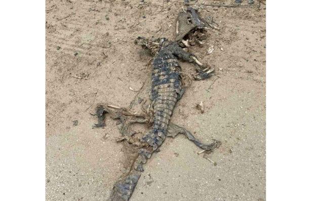 Украинцев пугают крокодилы на пляжах: вместо медуз