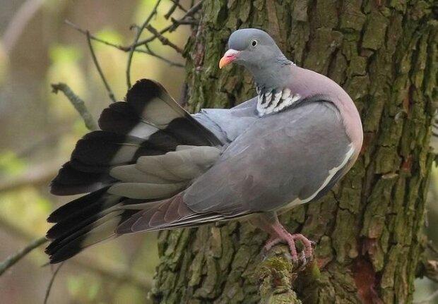 лісовий голуб припутень, фото:wikipedia