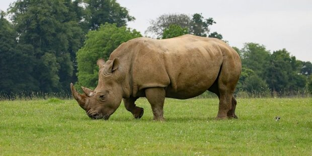 Носорог, фото - Семья