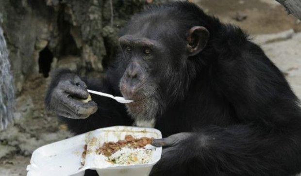 Шимпанзе вміють готувати їжу
