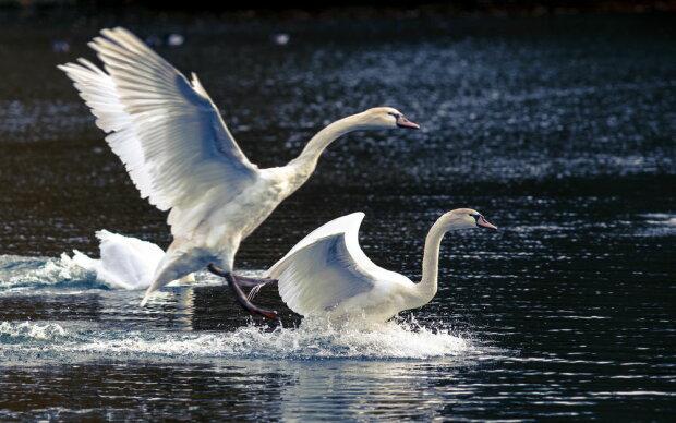 У крижаному капкані: під Запоріжжям зграю лебедів врятували від неминучої загибелі, - зворушливі кадри