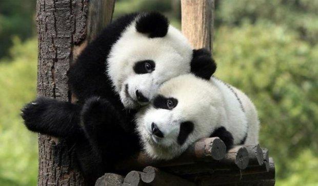 Панды-близнецы мастерски делают сальто (видео)