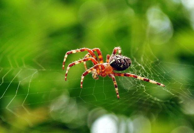 Як у фільмах жахів: вчені показали світові павука-мутанта з головою собаки