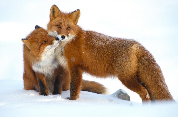Хроніки Заполяр'я: цікаві дикі лисиці стали чудовими моделями. Секрети зйомки від тревел-фотографа