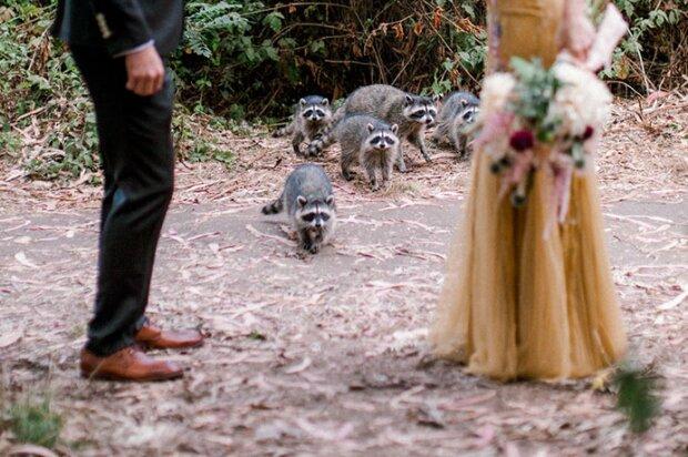 Еноты пришли на свадьбу, фото Bored Panda