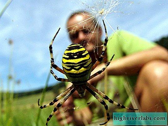 Павук-оса, фото uk.highriverlabs.com