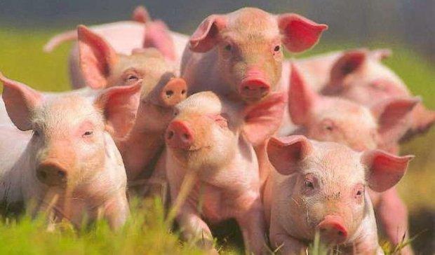 Під Києвом 60 тисяч свиней усиплять через африканську чуму