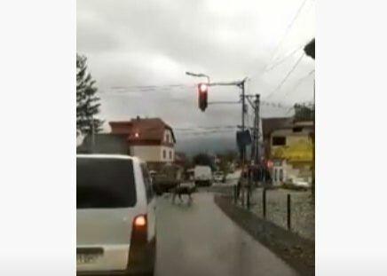 """Умные свиньи на дороге довели закарпатцев до хохота: """"Ждут, когда включится светофор"""""""