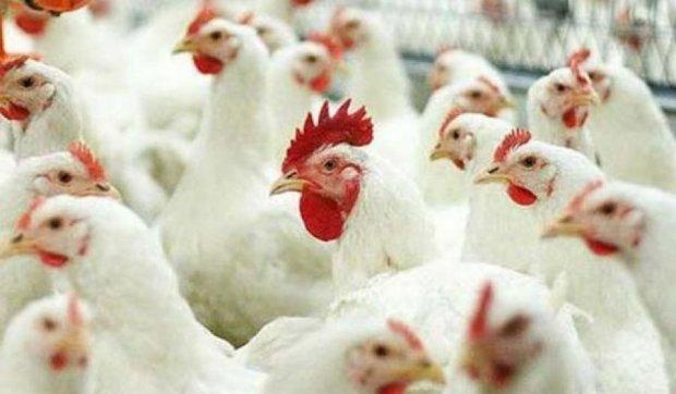 Нидерланды и Германия предпочитают украинскую курятину
