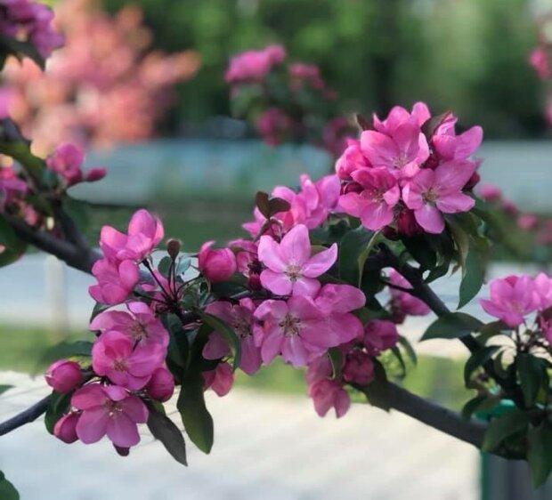 У Львові зацвіла алея Райських яблунь, божественний аромат зводить з розуму - ви закохаєтесь в цю красу