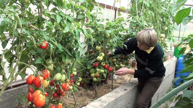 По чем в Одессе помидоры: как вырастить вкусные томаты на зависть соседу