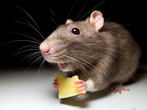 мишка з сиром, фото з вільних джерел