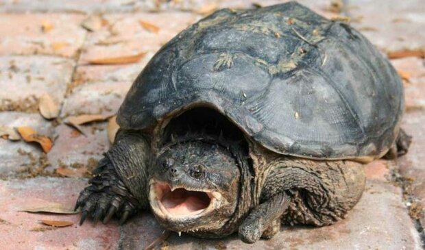 агрессивная черепаха, фото:fanfishka