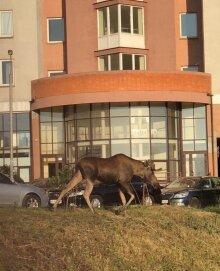 Лось у Києві, скріншот