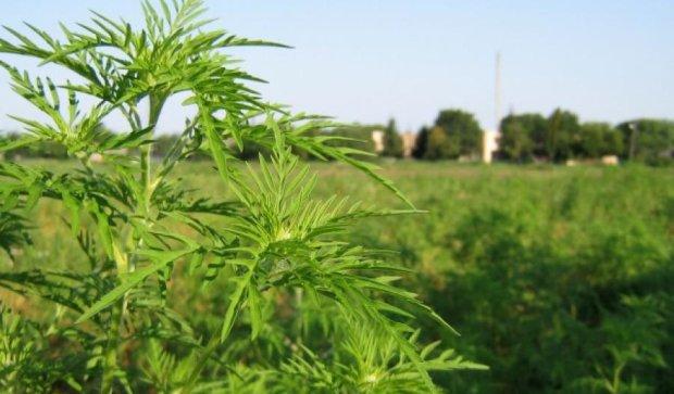 В Запорожье изобрели препарат для уничтожения амброзии