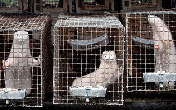 В Україні хочуть заборонити виробництво хутра: резонансний документ вже в Раді