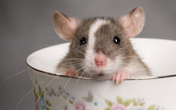 Вчені наділили мишей суперзором: на черзі люди