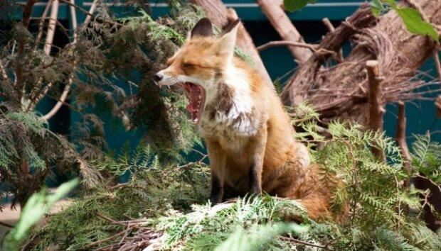 Львов в опасности: город атакуют бешеные лисы, как спастись