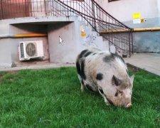 Свинья на прогулке