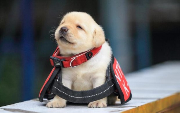 Счастливая звезда лабрадора: крошечный щенок-полицейский покорил сеть