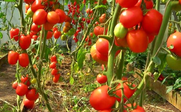 Вирощування помідорів, скріншот: YouTube
