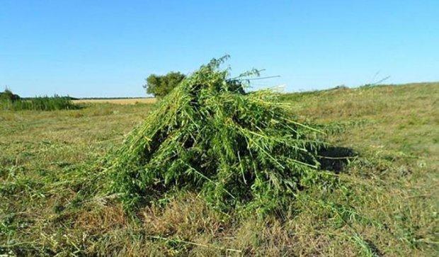 На Луганщині правоохоронці знищили 2 га конопель (фото)
