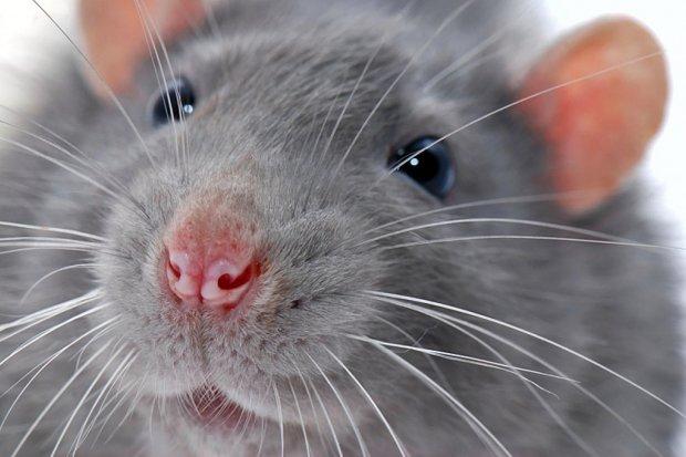 Система навигации мозга: у крыс есть ментальная карта