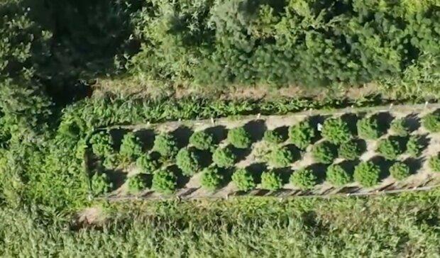 Плантация конопли, фото: скриншот видео