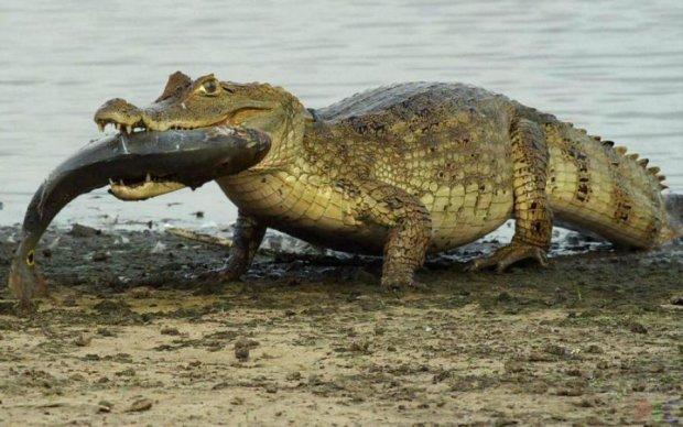 Крокодили отримають крила. Без наркотиків