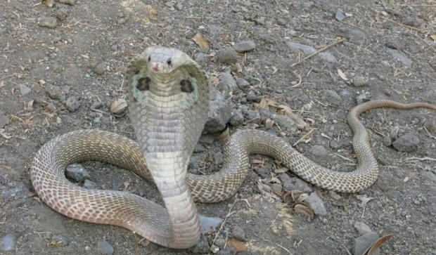 Переедают даже змеи: кобра выплюнула проглоченные яйца (видео)