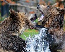 медведи, pxhere