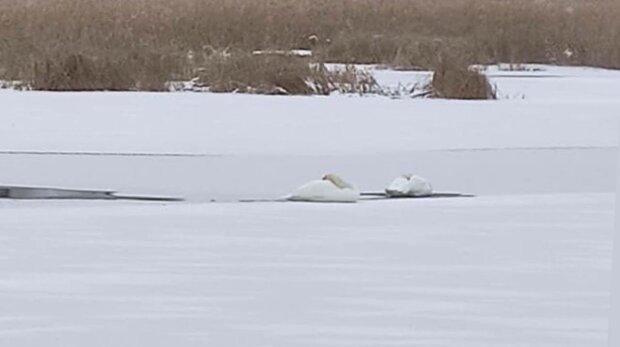 Лебеді в замерзлій водоймі, фото: Facebook