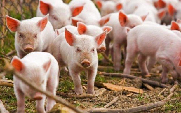 Чума свиней: министр рассказал об опасном вирусе