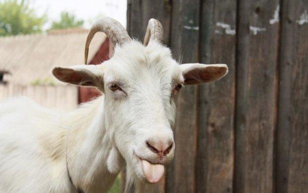Вчені виявили нові здібності у кіз