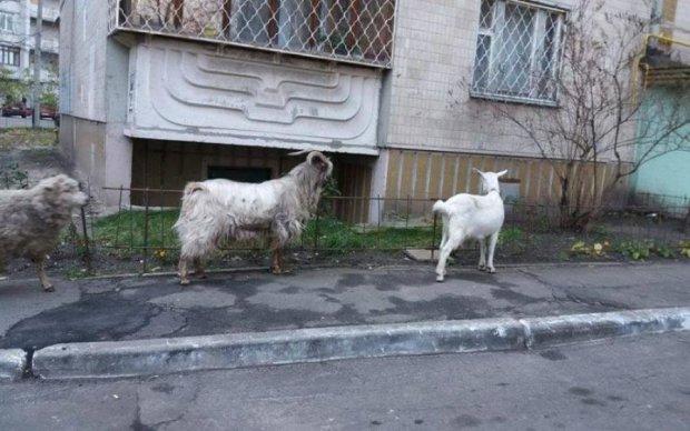 """""""Ця безбашенна"""": кози посеред київських багатоповерхівок спровокували скандал"""
