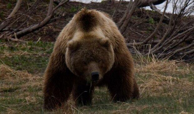 У Росії живодери на позашляховику 8 разів переїхали ведмедя (відео)