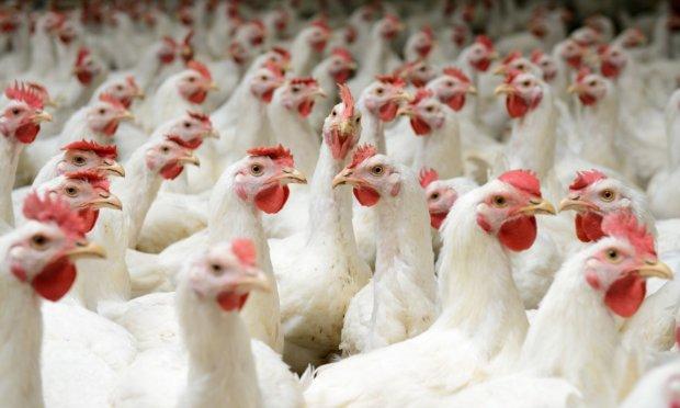 Китай дозволив імпорт української птиці: грипу більше не бояться