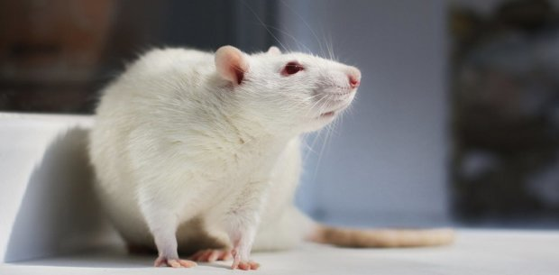 Тільки пискни: вчені навчилися розуміти щурячу мову
