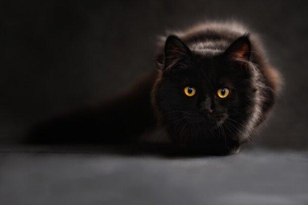 черная кошка, фото Pxhere