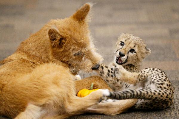 Противоположности притягиваются: дикая кошка подружилась с собачкой, милые фото