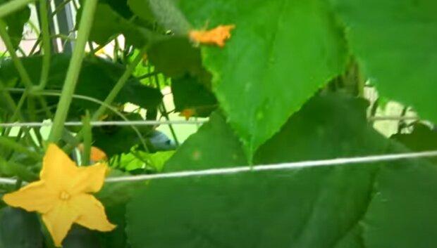 Как вырастить вкусные огурцы: советы огородников