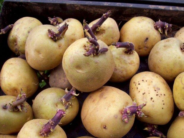 Підготовка картоплі до посадки, Фото з сайту Містер Садівник