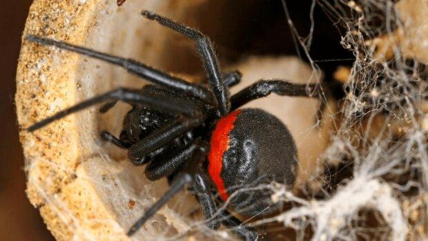 """""""Приїхали до нас із бананами"""": дніпрян атакують отруйні павуки родом з тропіків"""