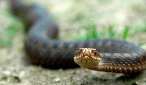 Двое прикарпатцев попали в реанимацию из-за укусов змей