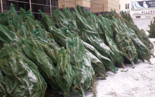 Купить елку в Киеве на Новый год: где и почем