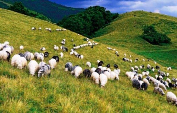 Закарпатца нашли мертвым в поле, рядом бегали овцы